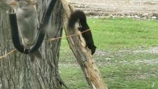 Dancing Squirrel
