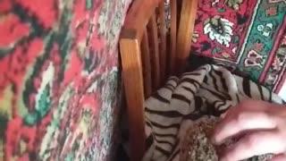 playful cat Senya