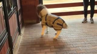 Miniature Horse Zooms Around Stables