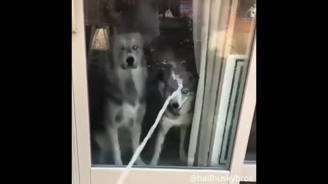 Husky Tries To Drink Hose Water Through Glass😂