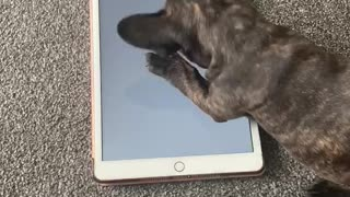 French Bulldog puppy plays video game on owner's tablet