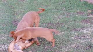 Three dogs fight - dogs playing - puppies