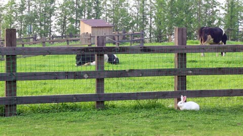 White Rabbit Standing Alone Near The Cows Fence