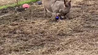 Donkey Delighted About New Ball