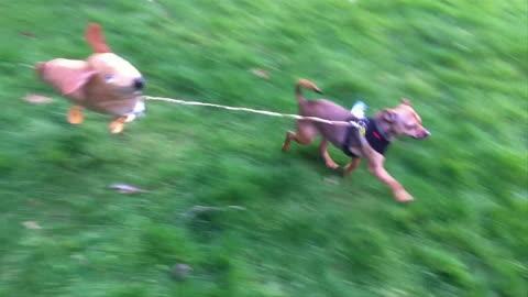 Dog Walks Himself