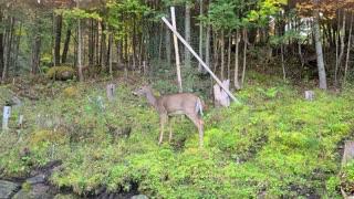 Deer Hanging Around