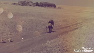 معركة🐆 بين اسد وثور🐃A little lion trying to hunt, see what happened