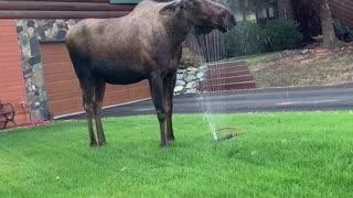 Moose Makes The Most Of Garden Sprinkler