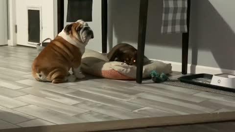 Angry Bulldog Bullies Sister for Dog Bed