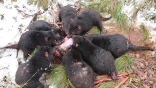 Tasmanian Devils Spend Time in Snow