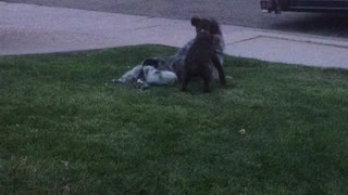 Puppy playing attack.