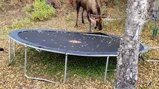 Moose Mangles In Backyard Trampoline