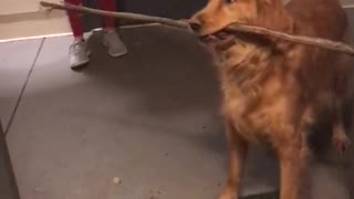 Silly Pup Can't Figure Out How To Get Giant Stick Through Doorway