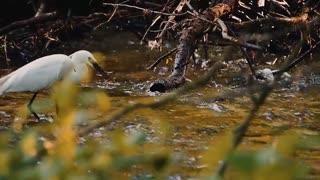 Beautiful black heron