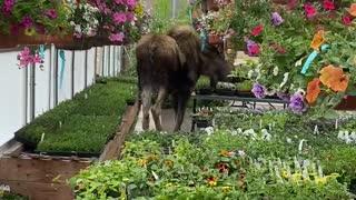 Moose Nimbly TipToes Through Greenhouse