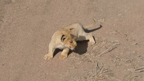 Small cutie lion
