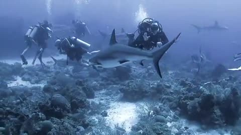 Expert Divers Play With Friendly Sharks & Dolphins Under water