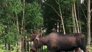 Massive Moose Kiki Challenge Remix