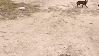 Hilarious Funny Fake Tiger Prank to a Dog