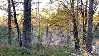 A morning in the Golden Northfork Forest California