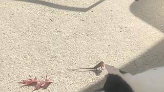 Lazy Cat Plays with Lizard