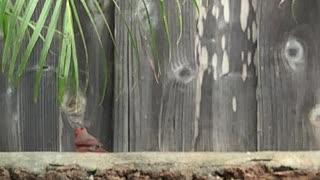#Back Yard Birds Hawai'i Daddy-O the Weird-O