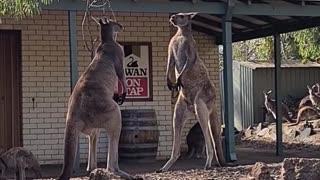 Kangaroo Stand off Outside Aussie Pub