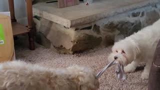 Puppy tug of war ramsvsriley
