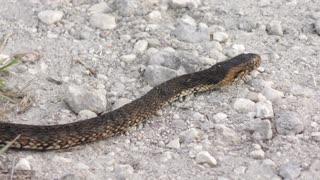 Banded water snake crossing road