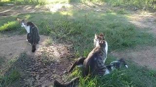 Uma família de gato
