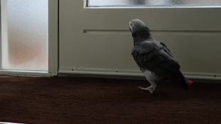 Parrot welcomes daddy at the front door