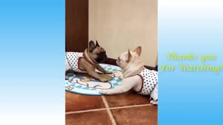 cats and Dogs playing hilariously