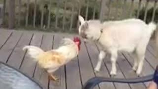 Cabra acepta el desafío de un gallo enojado