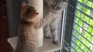 This kitten tries so hard to get bigger cat to play