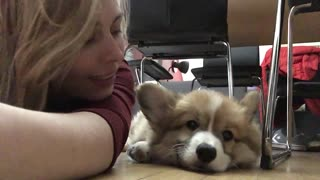 Corgi puppy unimpressed with owner's affection
