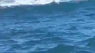 Seal savagely destroys octopus