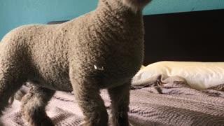 Pet Sheep Occupies Hotel Room