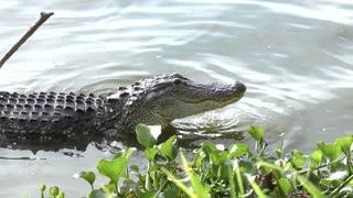 alligator fishing in a lake