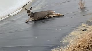 Deer Runs Away After Being Rescued From Icy Lake