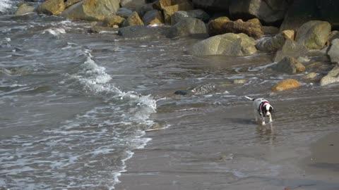 Dog puppy beach sand ocean water stones