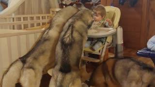 Trio of huskies help toddler finish dinner