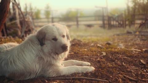 Whie Dog Gaurding Farm Animals