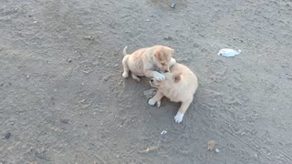When a puppy's friend plays with something incredible, it's really fun
