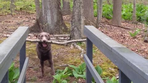 Dog Thinks Through A Problem-