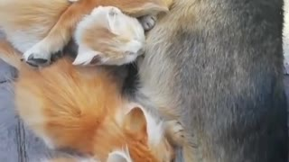 Kittens with mother dog