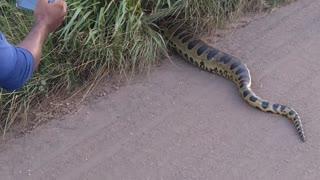 Giant Anaconda Causes a Scene