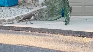 Spectacular Peacock tries to impress Peahen