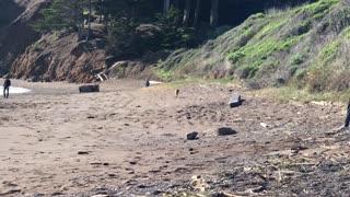 Wild Coyote Walks under Golden Gate Bridge