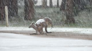 Kangaroo Family Stands in Heavy Snow