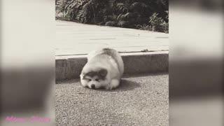 Baby Alaskan Malamute Cute and Funny